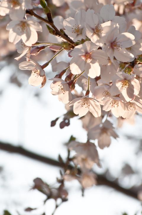 桜[新宿の桜]_d0214541_14504626.jpg