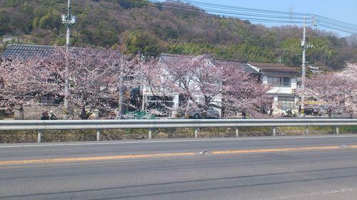 桜_c0206243_1121562.jpg