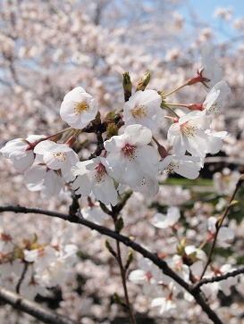 2012、桜_e0214646_1846176.jpg