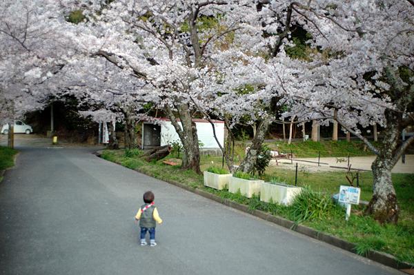 120409 桜のトンネル_b0129659_8172364.jpg