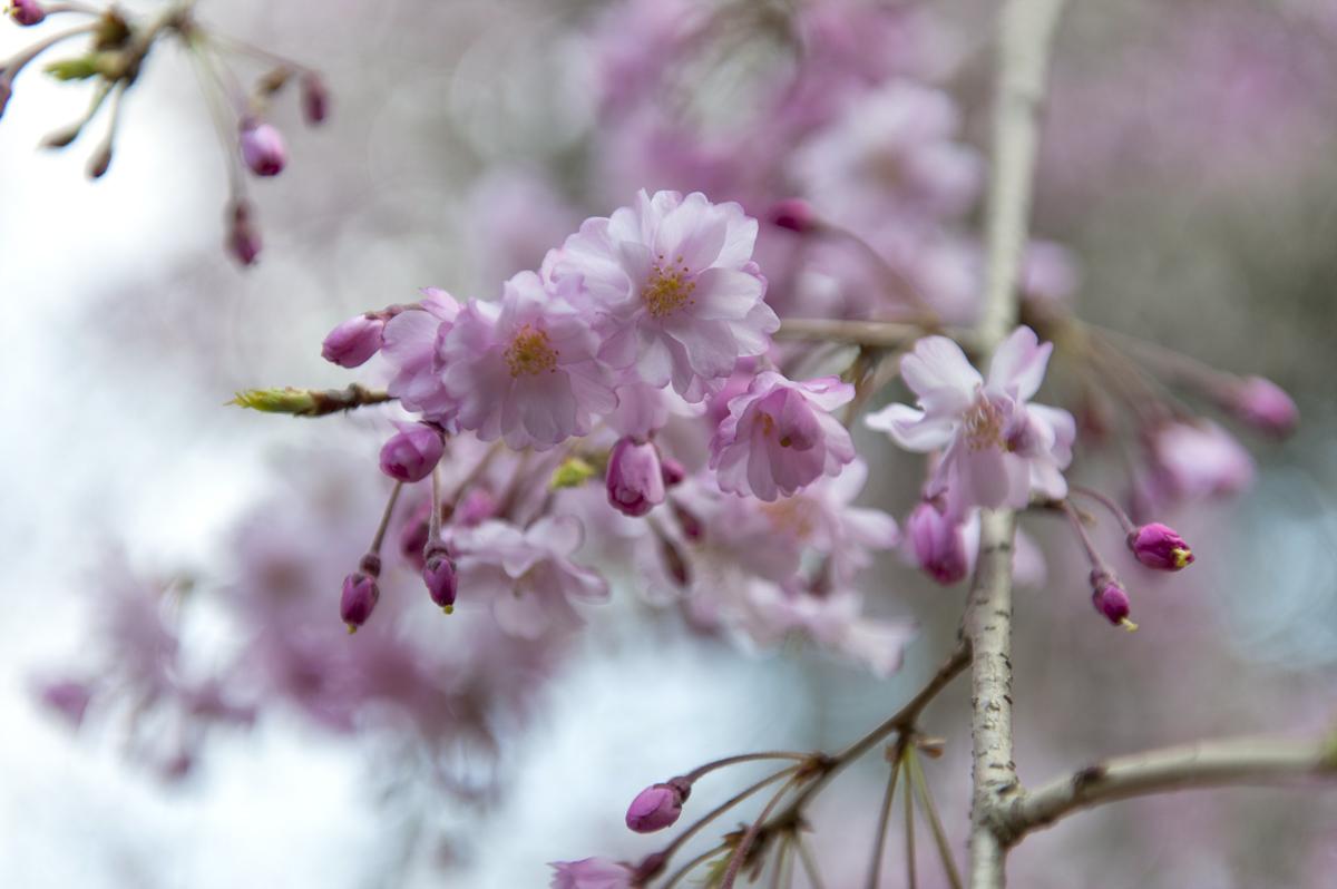 足立・妙見宮の枝垂れ桜_c0028861_21285658.jpg