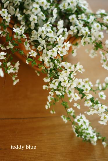 thunberg spirea  かわいい ユキヤナギ_e0253364_1853587.jpg