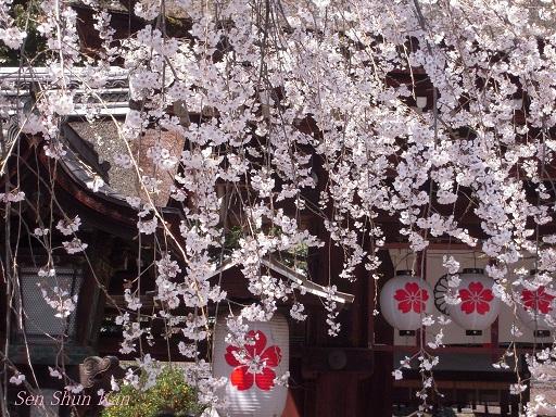 今出川界隈の桜 2012年4月8日_a0164068_14324596.jpg
