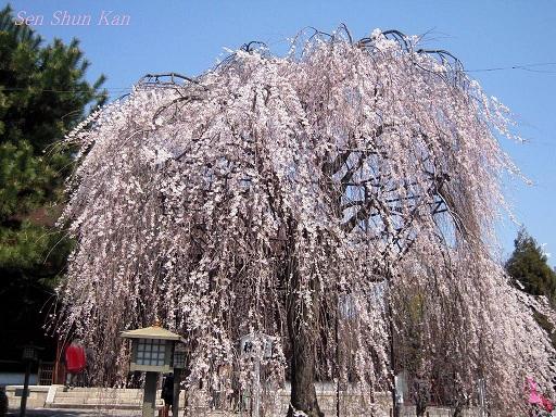 今出川界隈の桜 2012年4月8日_a0164068_14333383.jpg