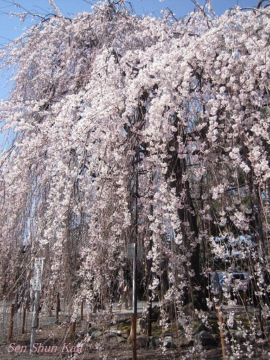 今出川界隈の桜 2012年4月8日_a0164068_14335597.jpg