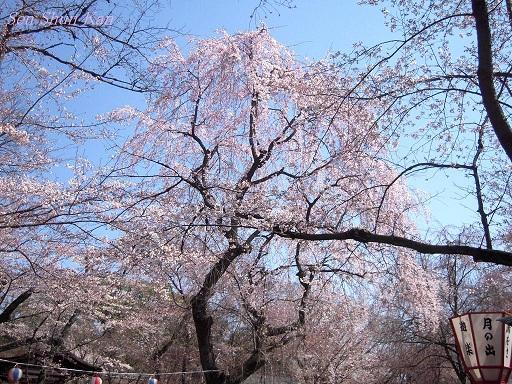 今出川界隈の桜 2012年4月8日_a0164068_1433627.jpg