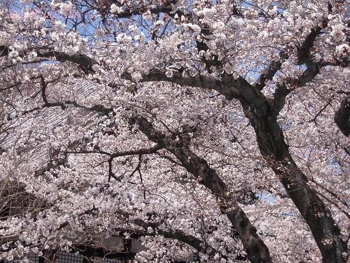 今出川界隈の桜 2012年4月8日_a0164068_14344348.jpg