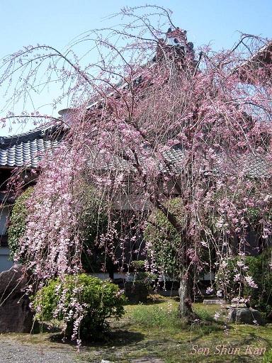 今出川界隈の桜 2012年4月8日_a0164068_1435966.jpg
