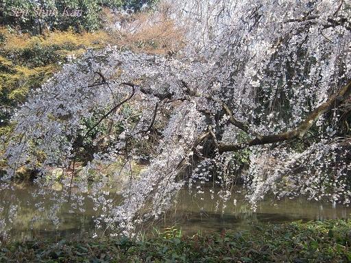 今出川界隈の桜 2012年4月8日_a0164068_143617100.jpg