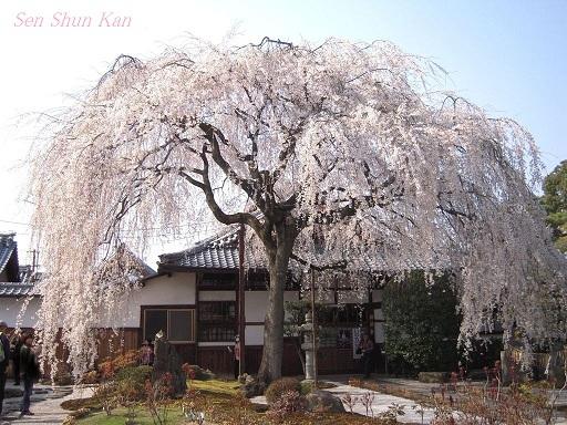 今出川界隈の桜 2012年4月8日_a0164068_14363896.jpg