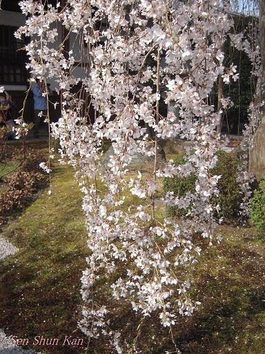 今出川界隈の桜 2012年4月8日_a0164068_14365755.jpg