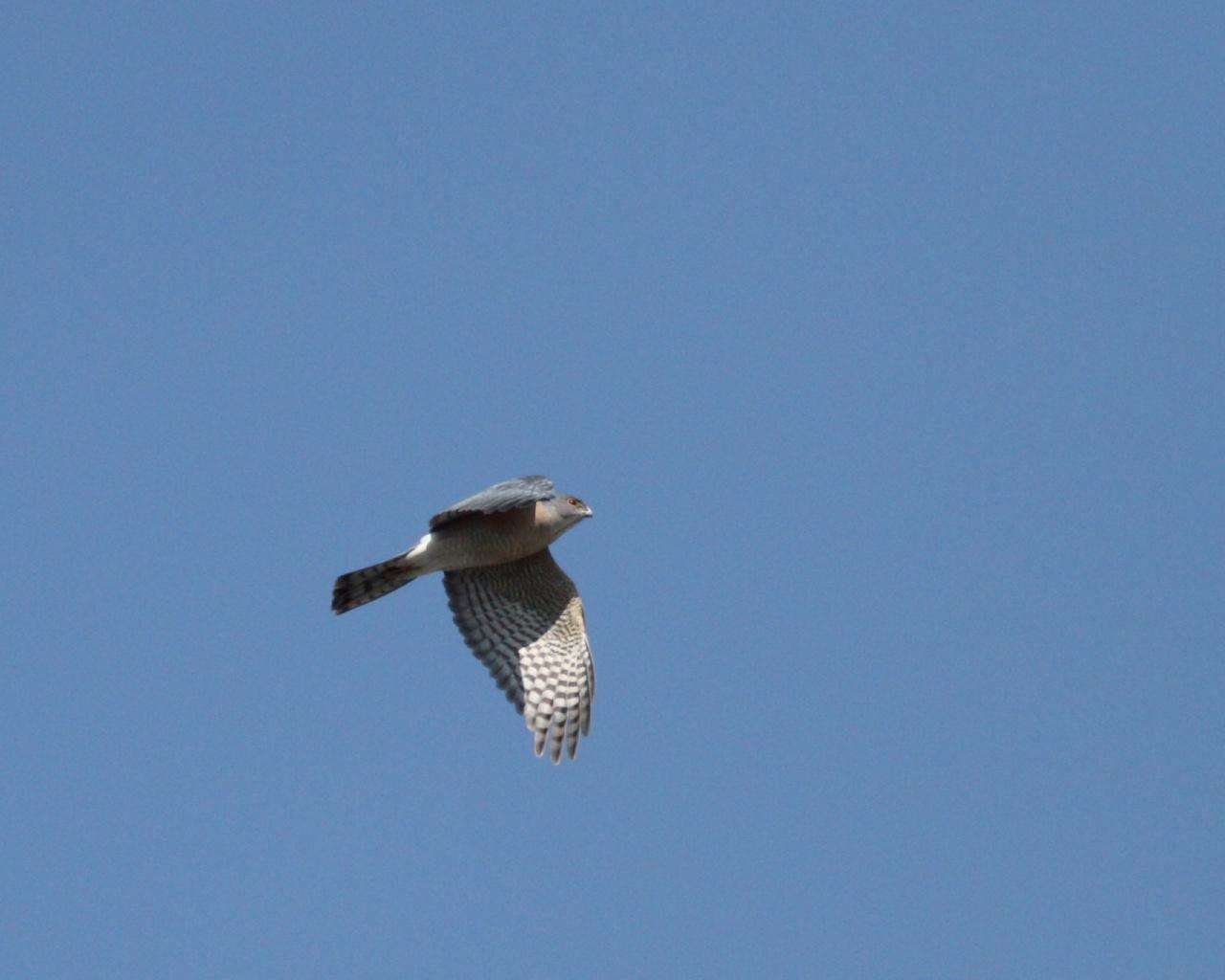 伊良湖で逢えそうな猛禽達_f0105570_223848.jpg