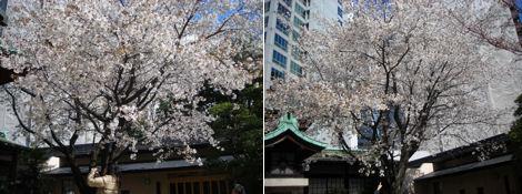 散歩を楽しく/金王八幡宮の桜は満開_d0183174_19202616.jpg