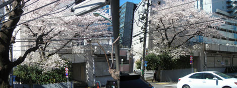 散歩を楽しく/金王八幡宮の桜は満開_d0183174_19203655.jpg