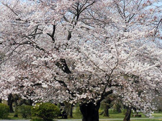 お花見三昧(小石川植物園)にて4/6日_f0030085_20281154.jpg