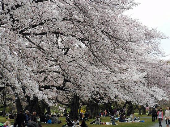 お花見三昧(小石川植物園)にて4/6日_f0030085_20283436.jpg