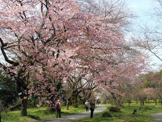 お花見三昧(小石川植物園)にて4/6日_f0030085_2029331.jpg