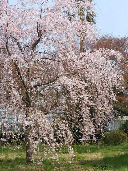 お花見三昧(小石川植物園)にて4/6日_f0030085_20302550.jpg