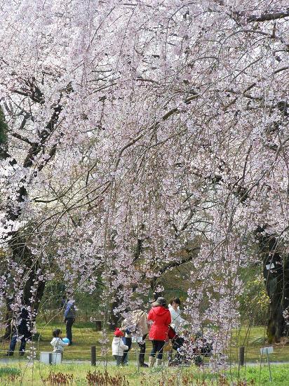 お花見三昧(小石川植物園)にて4/6日_f0030085_20304695.jpg