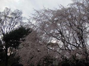 六義園のしだれ桜_e0030586_0332668.jpg