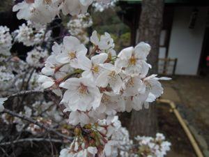 六義園のしだれ桜_e0030586_0332877.jpg