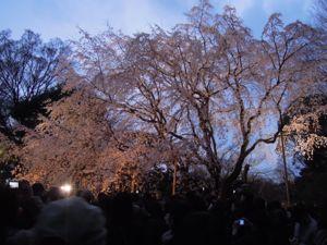 六義園のしだれ桜_e0030586_0385821.jpg