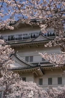 小田原城と桜_e0231387_1650554.jpg