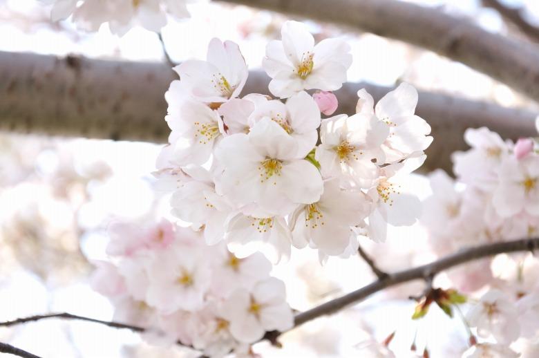 桜の木の下で vol.1_e0184300_2349044.jpg