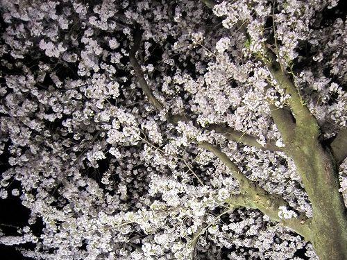 夜桜。_b0157216_2344417.jpg