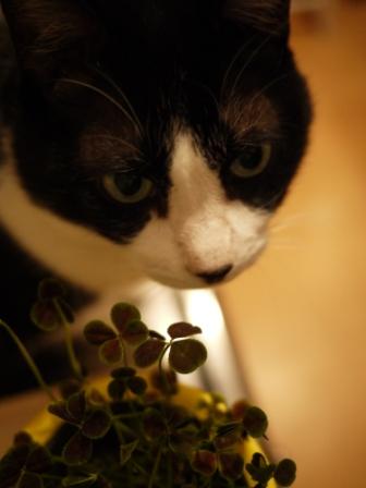 四つ葉のクローバー猫 空編。_a0143140_0434100.jpg