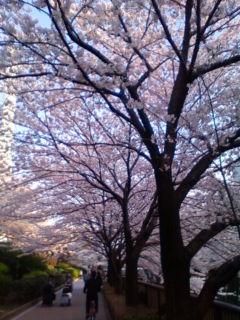 桜満開、その2_f0138653_1850634.jpg