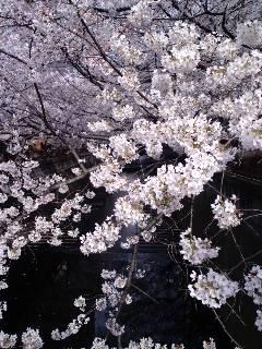 目黒川の桜攻略法。_d0137764_11594250.jpg