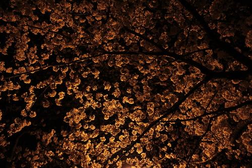 箕面市 夜桜_d0202264_2245646.jpg