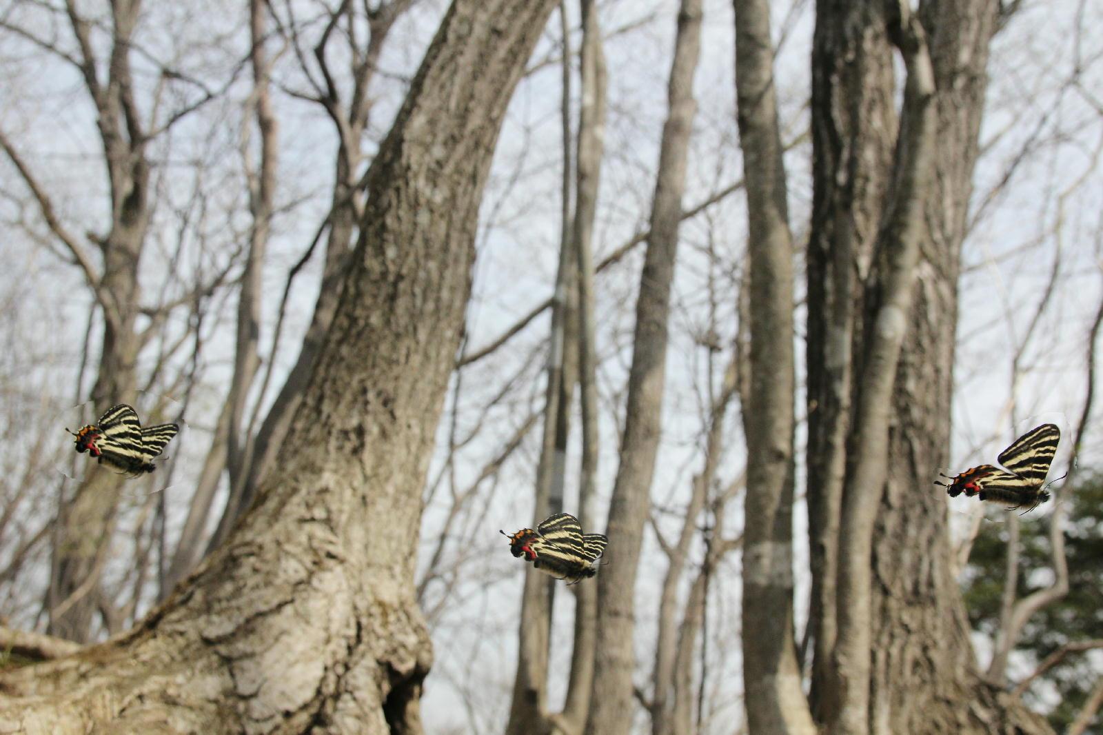 ギフチョウ ピーク縄張り飛翔  2012.4.10神奈川県①_a0146869_21455167.jpg