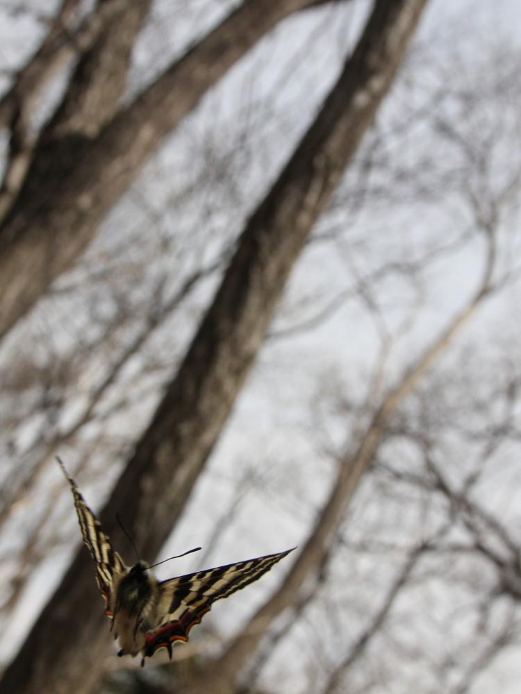 ギフチョウ ピーク縄張り飛翔  2012.4.10神奈川県①_a0146869_2152359.jpg