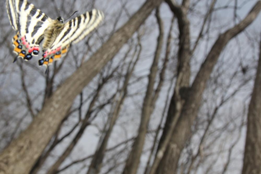 ギフチョウ ピーク縄張り飛翔  2012.4.10神奈川県①_a0146869_21544395.jpg