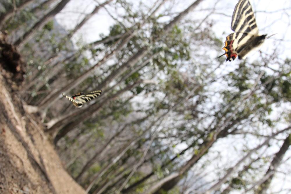 ギフチョウ ピーク縄張り飛翔  2012.4.10神奈川県①_a0146869_2243023.jpg