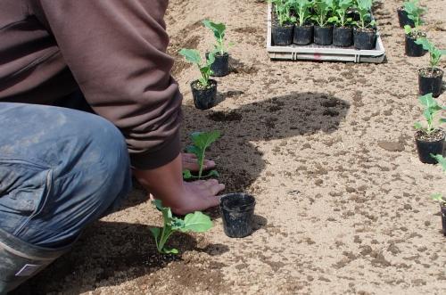 ブロッコリー苗を植える_c0110869_142529.jpg