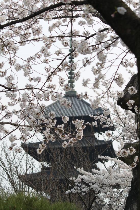 桜 <東寺>_c0180971_2018324.jpg