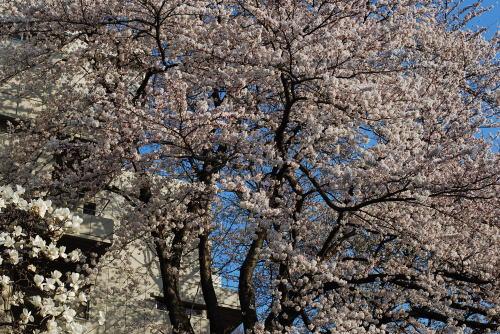 桜並木のお散歩_d0091671_8294424.jpg