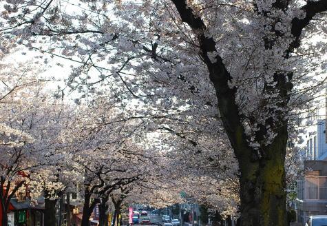 桜並木のお散歩_d0091671_8351490.jpg