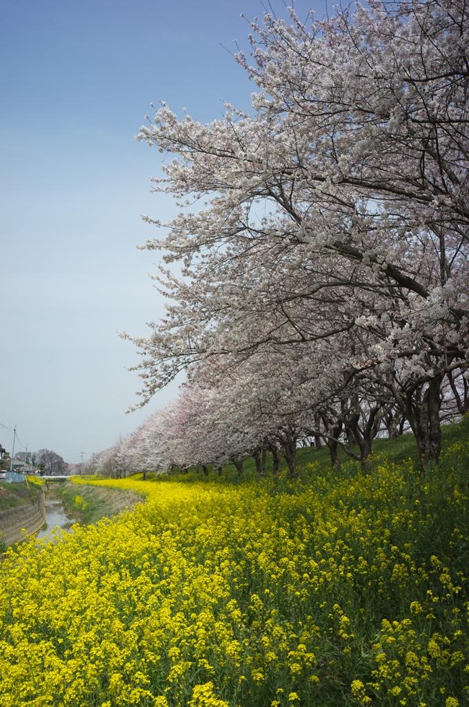 今年も吉見の桜堤へ_d0123171_19552871.jpg