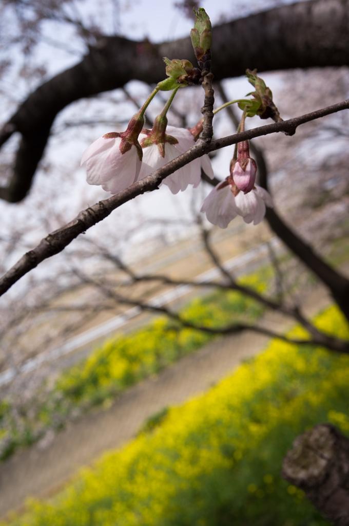 今年も吉見の桜堤へ_d0123171_1956283.jpg