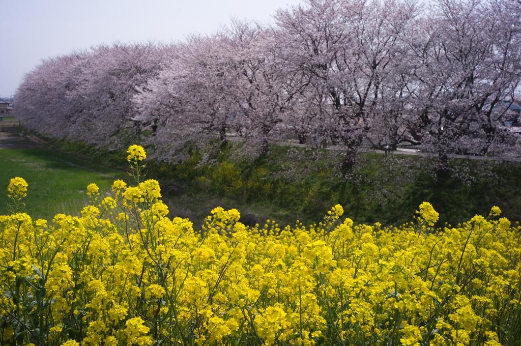 今年も吉見の桜堤へ_d0123171_19564528.jpg