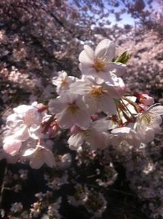 希望の桜_e0261371_2044884.jpg