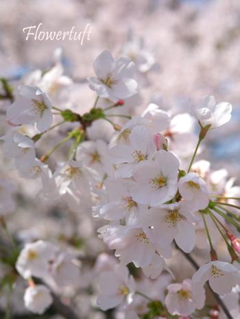 夙川のさくら_c0137872_0504158.jpg