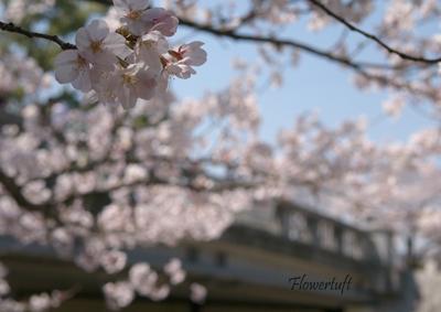夙川のさくら_c0137872_0525199.jpg