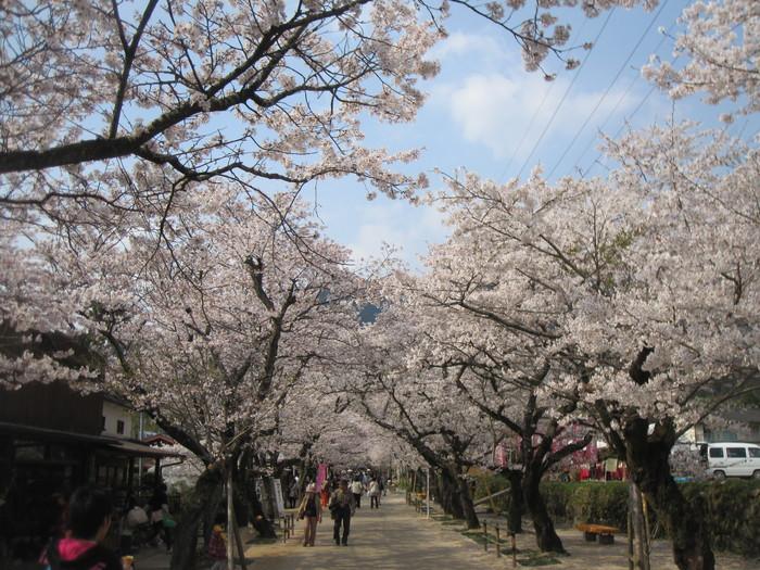 秋月 桜ドライブ_e0252173_151811100.jpg