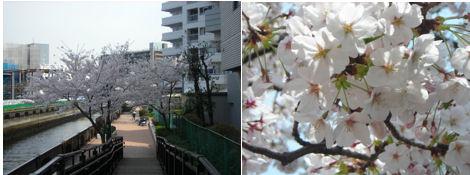 散歩を楽しく/今日の昼休みは運河の花見_d0183174_1951797.jpg