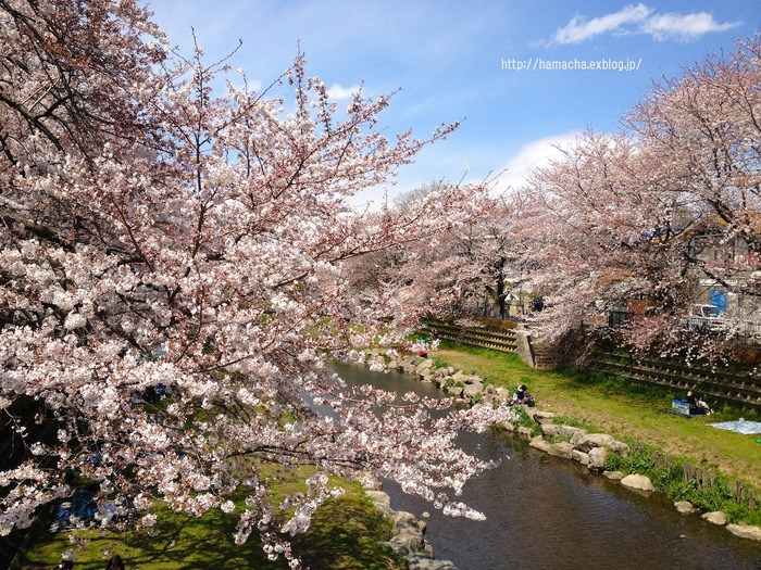 Cherry Blossoms are Blooming Beautifully!_c0158775_6112574.jpg